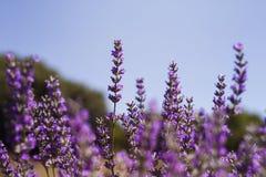 Lavender flowers detail. Lavender flowers farm in full bloom Royalty Free Stock Image