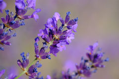 Lavender Flowers. Detail of ripening lavender flowers in summer on blurred background Stock Image