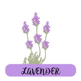 Lavender flowers elements. Botanical. Collection of lavender flowers on a white background. Vector illustration bundle. Stock Photos