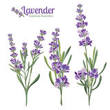 Lavender flowers elements. Botanical illustration. Lavender flowers elements. Botanical illustrations are drawn by hand Royalty Free Stock Photography