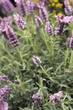 Lavender flowers in a field. Detail of some lavender flowers in a field royalty free stock images