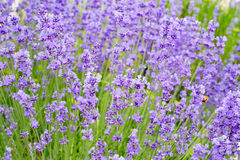 Lavender flowers field. Stock Photos
