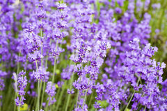 Lavender flowers field. Royalty Free Stock Images