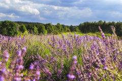 Lavender Flowers. Lavender field close up at sunset royalty free stock photo