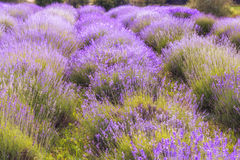 Lavender Flowers. Lavender field close up at sunset stock images