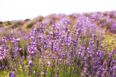 Lavender Flowers. Lavender field close up at sunset stock photo