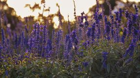 Lavender flowers field colorful sunset outdoors nature landscape background calm and relaxing zen forest Park royalty free stock photos