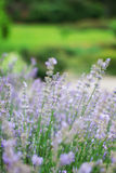 Lavender flowers. Field or garden with lavender flowers Royalty Free Stock Image