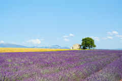 Lavender flowers field, house, tree. Provence. Lavender flowers blooming field, wheat, a house and a lonely tree. Plateau de Valensole, Provence, France, Europe Royalty Free Stock Photography