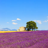 Lavender flowers field, house and tree. Provence. Lavender flowers blooming field, wheat, house and lonely tree. Plateau de Valensole, Provence, France, Europe Royalty Free Stock Photos