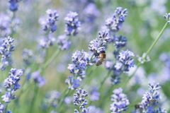 Lavender flowers in field. Pollination with bee and lavender with sunshine, sunny lavender stock photography