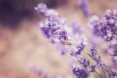 Lavender flowers in field. Pollination with bee and lavender with sunshine, sunny lavender stock image