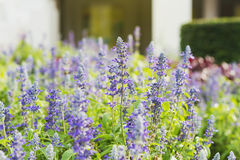 lavender flowers in the field stock image