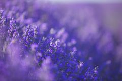 Lavender flowers field in a selective focus pastel colors and blur background stock images