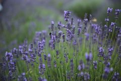 Lavender flowers on field in summer in Hungary. Close-up stock photos