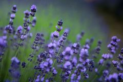 Lavender flowers on field in summer in Hungary. Close-up royalty free stock photography