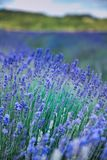 Lavender flowers on field in summer in Hungary. Close-up royalty free stock image