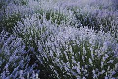 Lavender flowers. Lavender field in summer. Ukraine royalty free stock photo