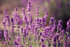 Lavender flowers in the field. In sunny day Stock Photography