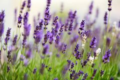 Lavender flowers in the field at sunset Royalty Free Stock Photography