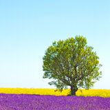 Lavender and flowers field, tree. Provence, France. Lavender and yellow flowers blooming field and a lonely tree. Valensole, Provence, France, Europe Royalty Free Stock Photos