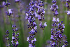 Lavender flowers field in violet color. Summer aromatherapy stock photo