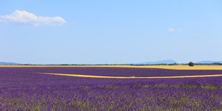 Lavender flowers field, wheat lines. Provence. Lavender flowers blooming field, wheat lines and trees. Panoramic photography in plateau de Valensole, Provence Stock Image