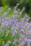 Lavender flowers. On the fields Royalty Free Stock Photography