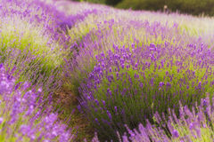 Lavender Flowers. Lavender fields in Poland closeup in sunset stock images