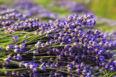 Lavender Flowers. Lavender fields in Poland closeup in sunset stock photo
