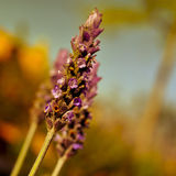 Lavender flowers, with a filter effect Royalty Free Stock Images