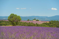 Lavender flowers  in France Stock Image