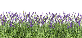 Lavender flowers. Fresh lavender plants isolated on white Stock Photos