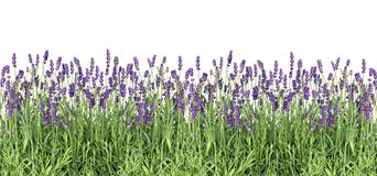 Lavender flowers Fresh lavender plants isolated white background Royalty Free Stock Photo