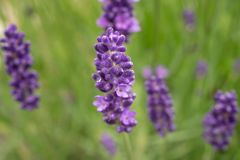 Lavender flowers in full bloom stock image