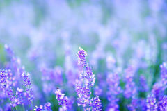 Lavender Flowers. In garden Lavender Stock Photos