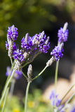 Lavender flowers. In the garden Royalty Free Stock Photo