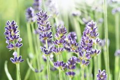 Lavender flowers in the garden Royalty Free Stock Photos