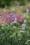 Lavender Flowers in the garden. Herbs. Lavender Flowers in the garden Royalty Free Stock Images