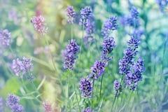 Lavender flowers in garden Stock Image