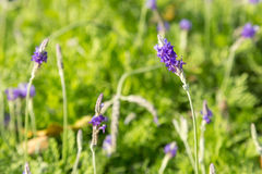 Lavender flowers in garden Stock Photography