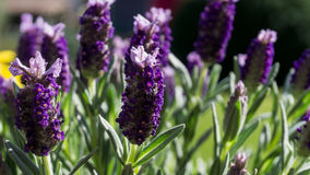 Lavender flowers with green leaves. In summer with sunshine royalty free stock images