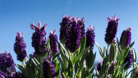 Lavender flowers with green leaves. In summer with sunshine royalty free stock photos
