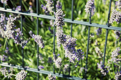 Lavender flowers and grid in the garden Royalty Free Stock Images