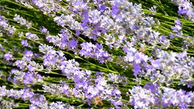 Lavender flowers grow in the garden, bees fly over them.  stock footage