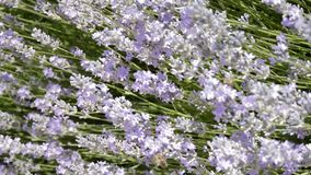 Lavender flowers grow in the garden, bees fly over them.  stock video