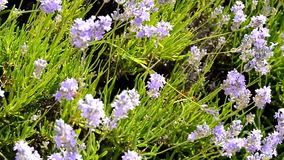 Lavender flowers grow in the garden, bees fly over them.  stock video footage