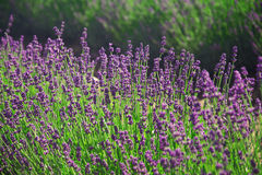 Lavender flowers. Growing in a field Royalty Free Stock Photos