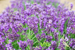 Lavender flowers. Growing in a field Royalty Free Stock Photo