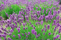 Lavender flowers. Growing in a field Stock Photos